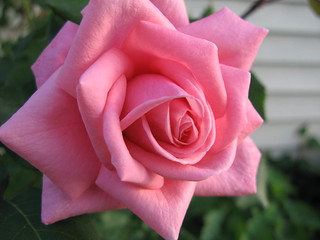 Pink Rose | by AndrewDallos