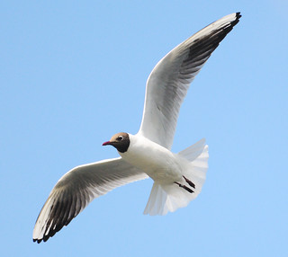 Blackheaded Gull Inflight | by earlyalan90 away awhile