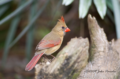 Female Northern Cardinal | by bananaman33428