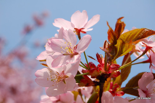 cherry blossom 1 | by eskedal