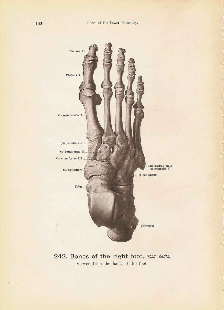 BONES of the Right Foot Viewed From the Side and Back Blac… | Flickr