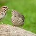 Song Sparrow Feeding a Juvenile Cowbird