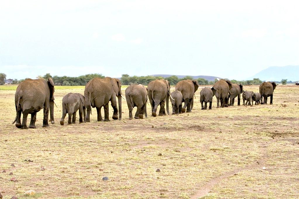 elephants walking away in a line elephants walking away