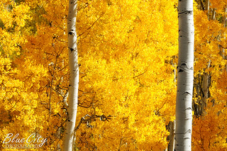 Aspens in Autumn | by Trask Smith