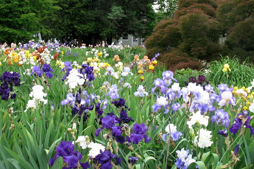Carol Ann Moyer Iris Garden | by Tie Guy II