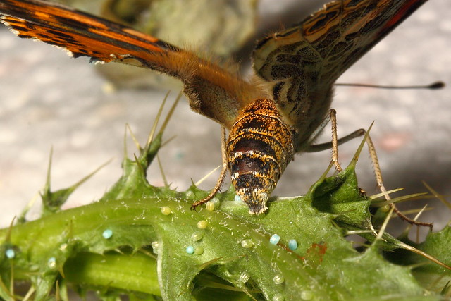 painted lady butterfly laying eggs - photo #1