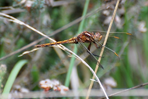keeled skimmer | by sure2talk
