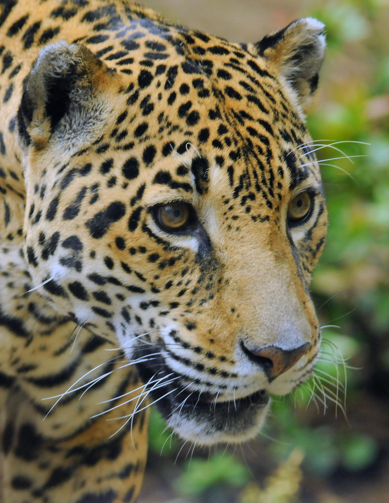 Jaguar For My Friend Quot Tambako The Jaguar Quot Busy Day