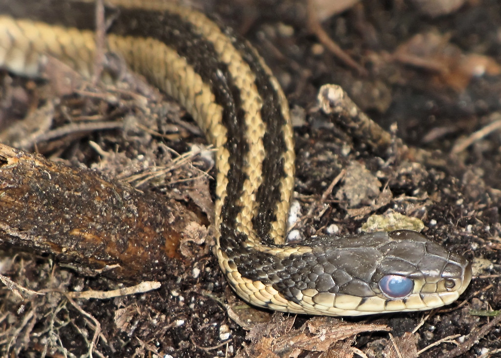 Do Garter Snakes Have Teeth (Plus 5 Other Amazing Facts ...   Garter Snake Teeth