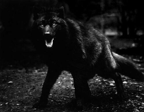 Samantha Deadwood- Werewolf 3993286361_c32407a741