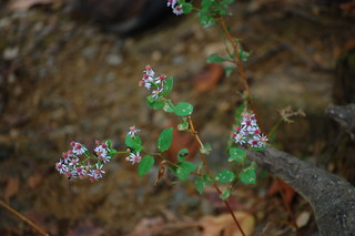 Symphyotrichum cordifolius- Heart-leaved Aster | by sheryl2010