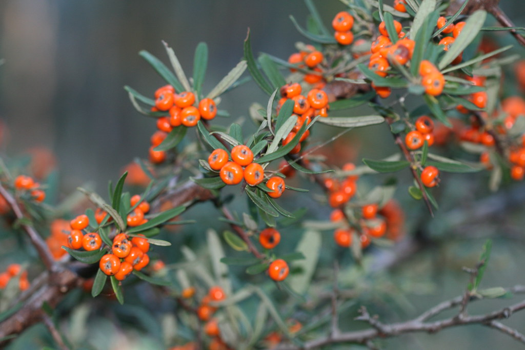 About >> Pyracantha angustifolia (Firethorn) - weed | Firethorn ...