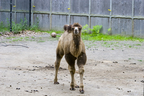 Nikolai – Potter Park Zoo's Baby Bactrian Camel | by Potter Park Zoo