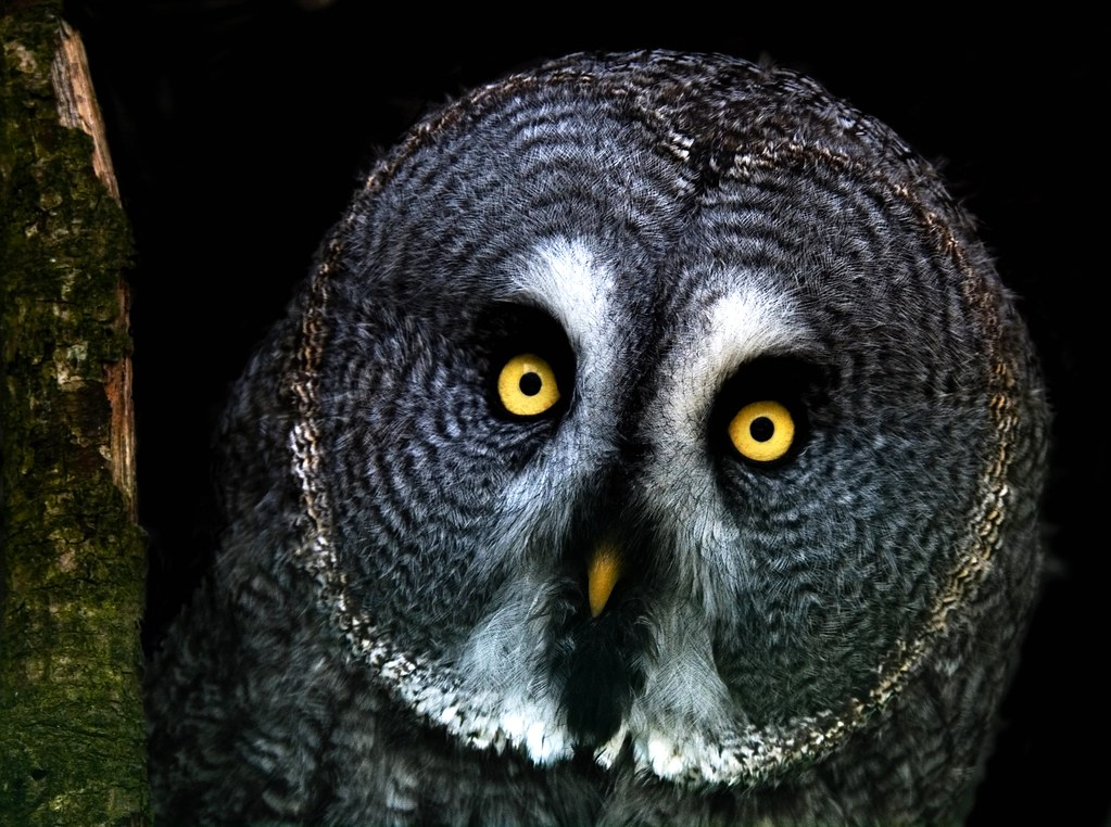 Great grey owl in the woods at night. | Great Grey Owl ...