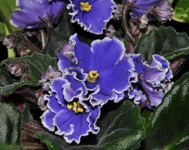 Violette africaine flickr photo sharing for Violette africane