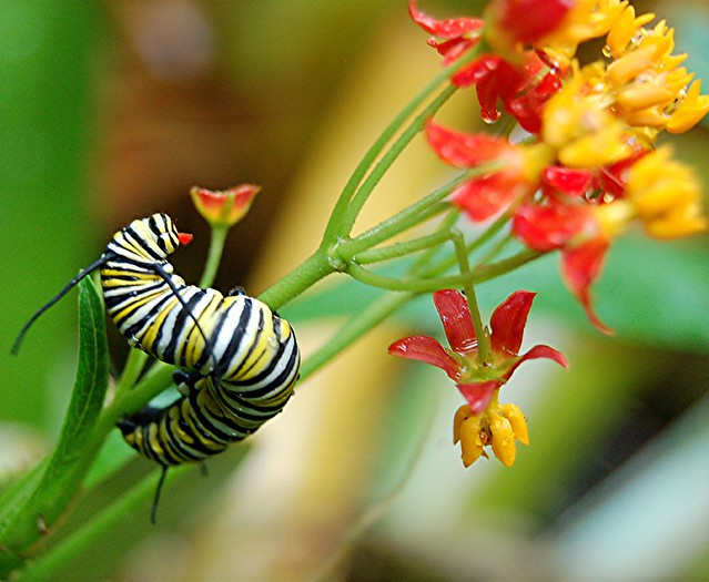 Monarch Caterpillars Are Devouring The Wet Flowers And Ste