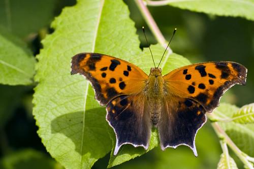 Beech Creek Question Mark Butterfly Question Mark Butterfl Flickr