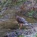 full frame hawk in the water