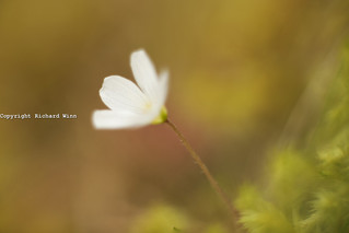 Wood Sorrel | by Kernuak (avalonlightphotoart.co.uk)