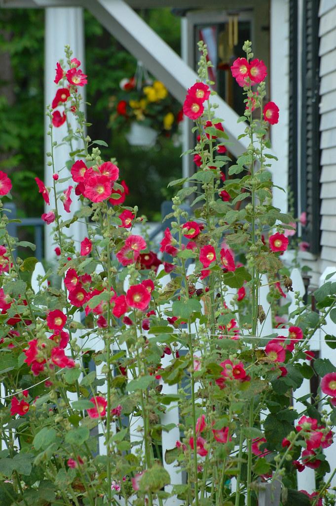 Hollyhocks marilou angelo flickr for Plante 3d gratuit