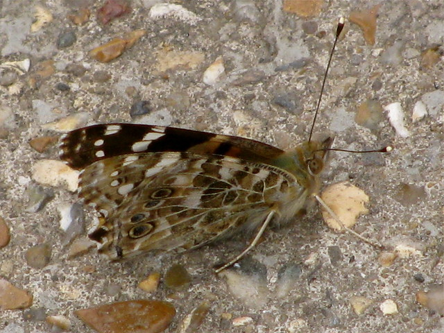 Camouflage butterfly 2 | Flickr - Photo Sharing!
