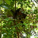 silver leaf monkeys at 100m into Paku trail
