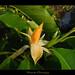 Joy Perfume Tree - Michelia Champaca