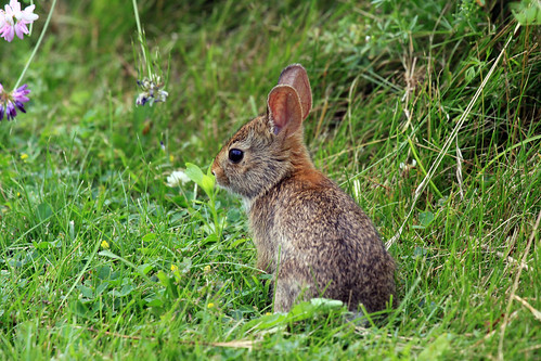 Cottontail Rabbit | by Laura Erickson