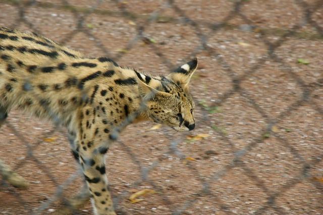 Serval Cat Uk Laws