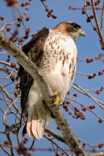 #13 Red-tailed Hawk