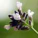 Lavender Lady Blooms