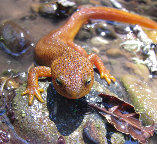 california newt | by randomtruth