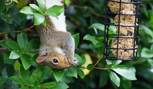 squirrel eating bird feed