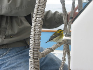 Townsend Warbler Resting on a Boat | by Andy Revkin
