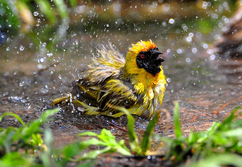 Southern Masked-Weaver (Ploceus velatus) | by Ian N. White