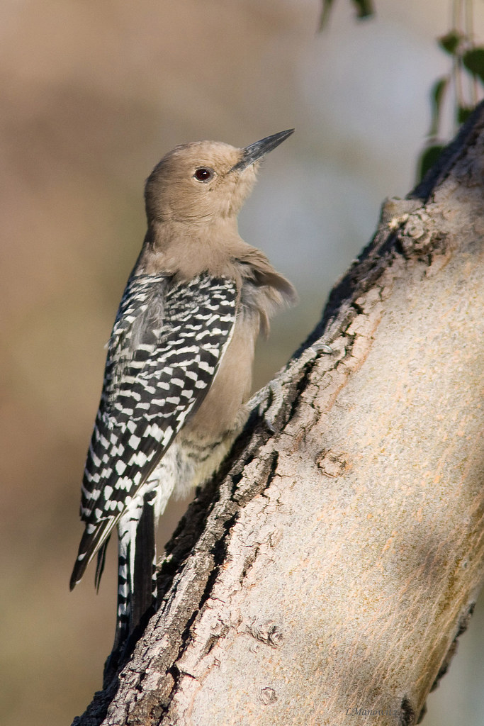 the endangerment of the gila woodpecker Conservation low concern gila woodpecker populations declined by about 49 % between 1966 and 2014, according to the north american breeding bird.