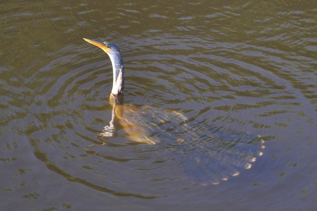 Anhinga Water Turkey Just Before Going Underwater D50002