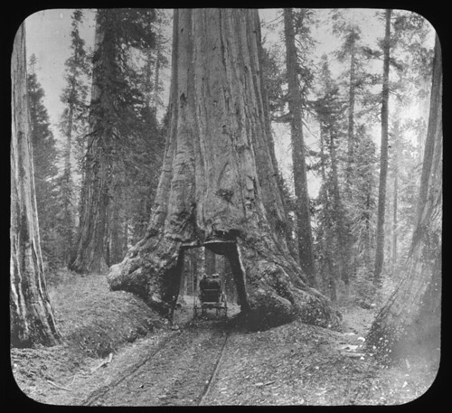 Big tree, Redwood Forest, California (Manning Lantern Slide: 657) | by Special Collections & University Archives (ISU)