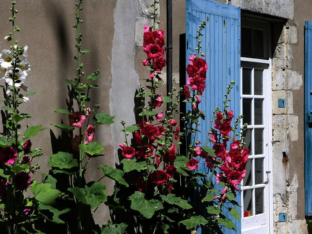 Roses tremieres dans une petite ruelle de l 39 le de r ces flickr - Planter des roses tremieres ...