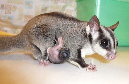 Ethel The Sugar Glider Rescue And Joey Ethel And One Of
