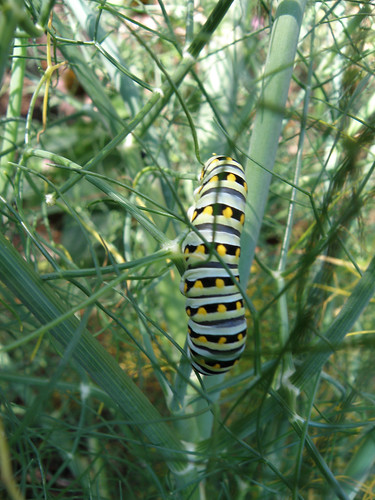 Black Swallowtail Larva on Fennel | by Herb Friend