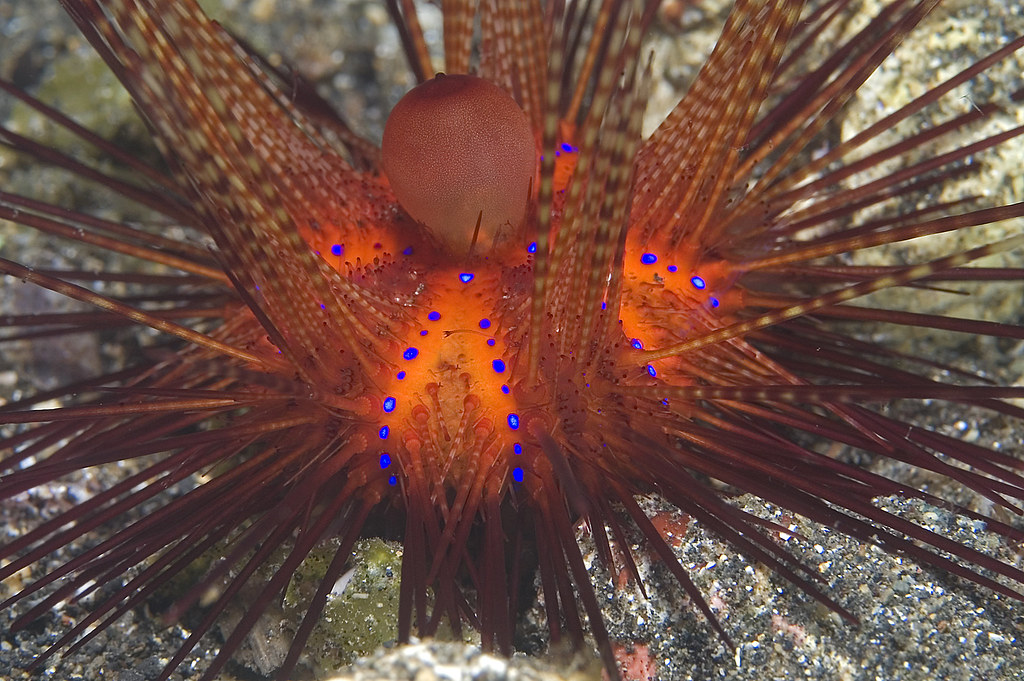 Image result for fire urchin