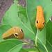 spicebush swallowtail caterpillars