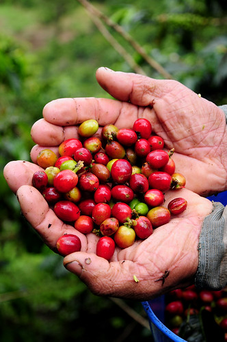 Colombian Coffee 15 | by CIAT International Center for Tropical Agriculture