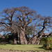 Giant Baobab Tree (6000 years old)
