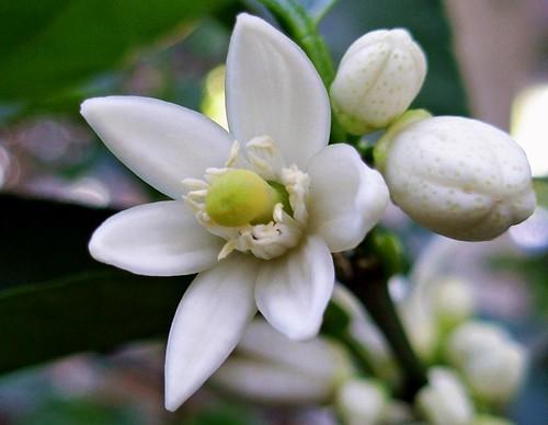 Flor del limonero elena ctany flickr - Limonero en maceta ...
