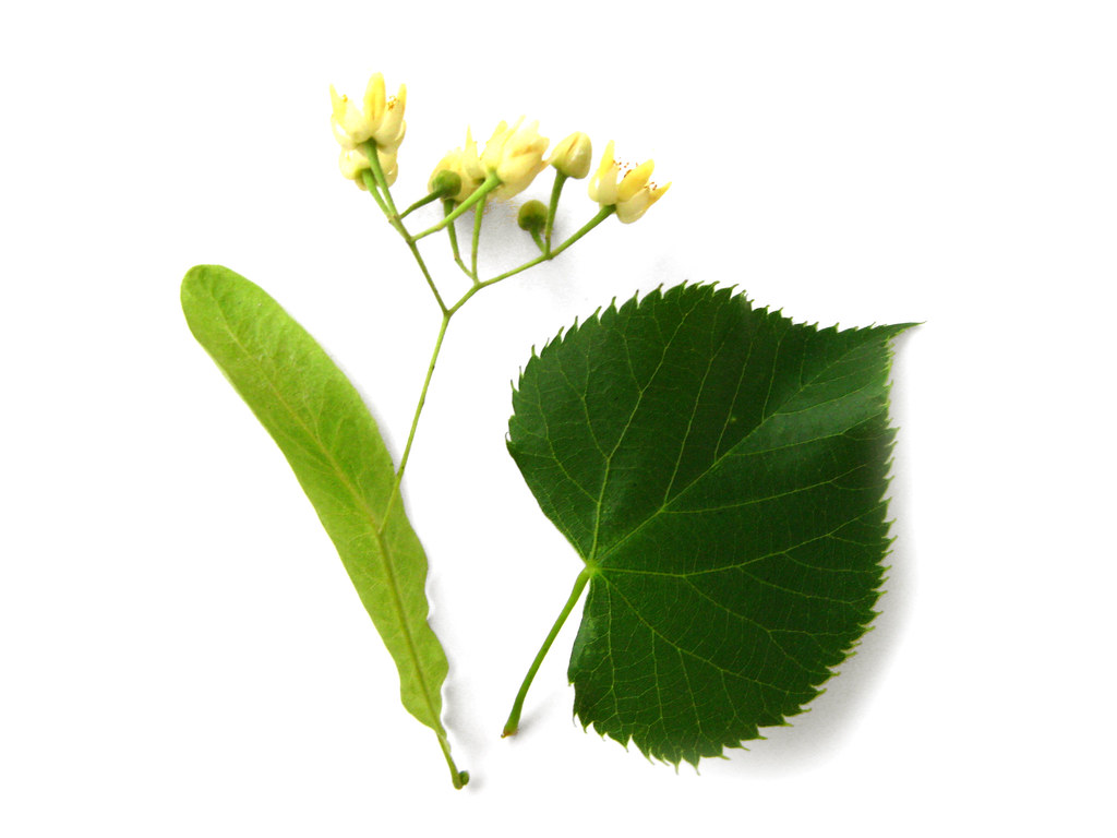 Are The Leaves Of Re Raddish Also Good For Food