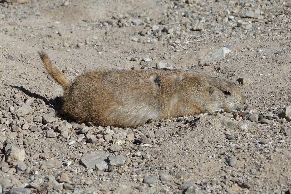 Free Prairie Dog Hunting
