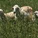 Her twin lambs
