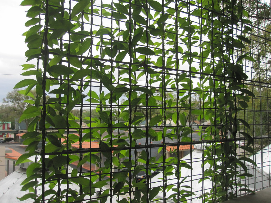 Vines Growing Up A Trellis On The Brackenridge Parking Gar